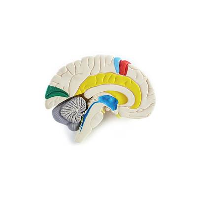 Medical School Photograph - Brain Anatomy Model by Science Photo Library