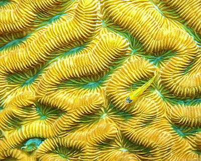 Brain Coral Painting - Brain Coral And Goby by David Wagner