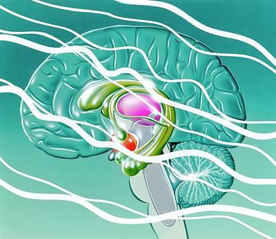 Hippocampus Photograph - Brain In Epilepsy by John Bavosi