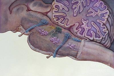 Brain Stem, Illustration Art Print by J. Allan Hobson