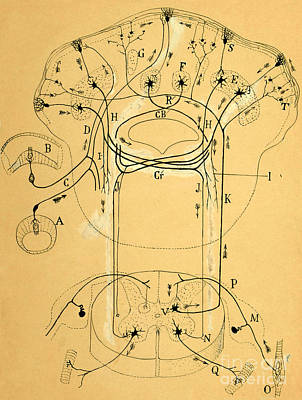 Nerve Cell Photograph - Brain Vestibular Sensor Connections By Cajal 1899 by Science Source