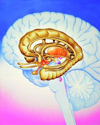 Hippocampus Photograph - Brain's Limbic System by John Bavosi