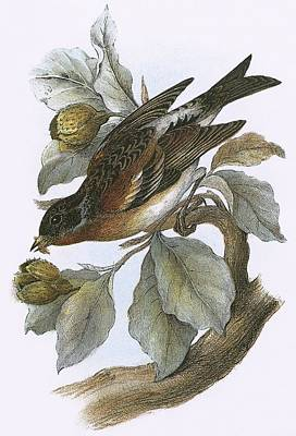 Brambling Art Print by English School