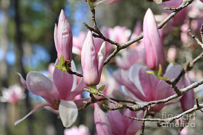 Photograph - Branches And Magnolias by Carol Groenen
