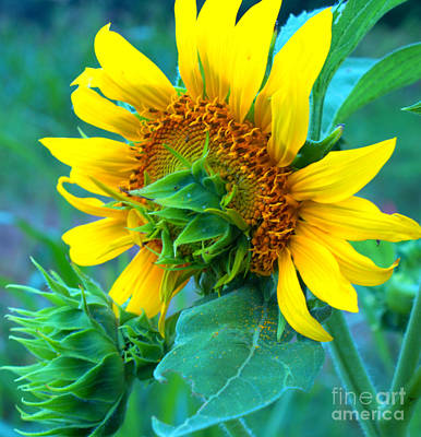 Photograph - Brand New Sunflower by Sandra Clark