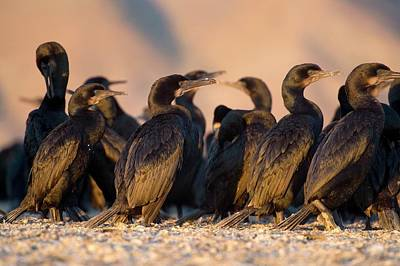 Brandt's Cormorants Art Print by Christopher Swann