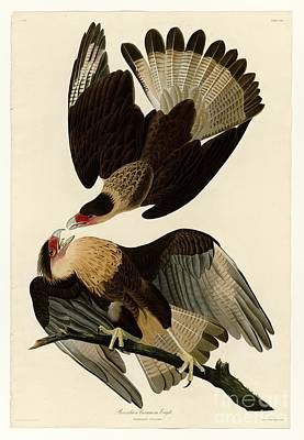 Painting - Brasilian Caracara Eagle by Celestial Images
