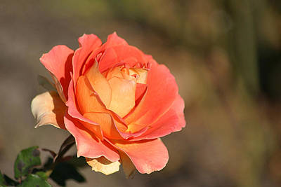 Photograph - Brass Band Rose In November by Living Color Photography Lorraine Lynch