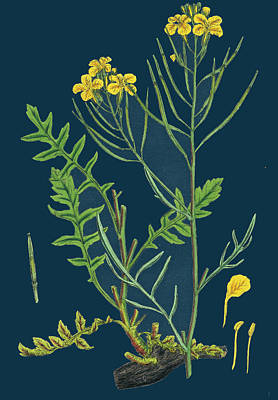 Cabbage Drawing - Brassica Cheiranthus Tall Wallflower-cabbage by English School