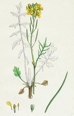 Cabbage Drawing - Brassica Eu-monensis Dwarf Wallflower-cabbage by English School