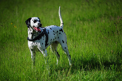 Photograph - Brave Stand. Kokkie. Dalmation Dog by Jenny Rainbow