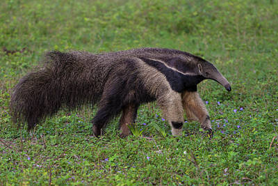 Anteater Photograph - Brazil A Giant Anteater (myrmecophagia by Ralph H. Bendjebar