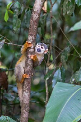 Amazon Wall Art - Photograph - Brazil, Amazon, Manaus, Common Squirrel by Ellen Goff