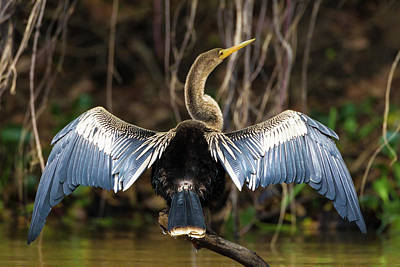Anhinga Wall Art - Photograph - Brazil An Anhinga Drying Its Wings by Ralph H. Bendjebar