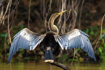 Brazil An Anhinga Drying Its Wings Art Print