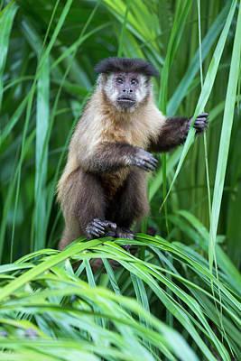 Capuchin Photograph - Brazil, Mato Grosso Do Sul, Bonito by Ellen Goff