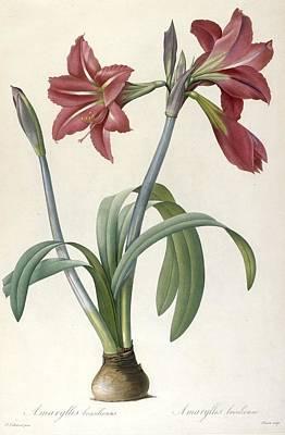 Spring Bulbs Painting - Brazilian Amaryllis by Pierre Joseph Redoute