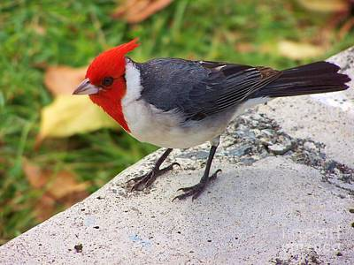 Art Print featuring the photograph Brazilian Red Capped Cardinal by Brigitte Emme