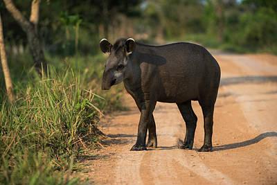Mato Photograph - Brazilian Tapir (tapirus Terrestris by Pete Oxford