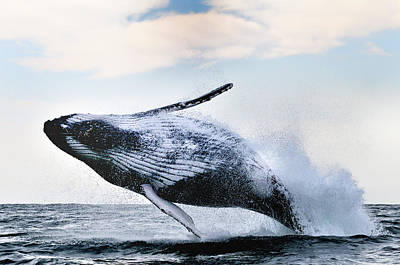 Whale Photograph - Breach by Alexander Safonov