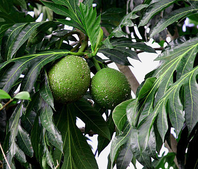 Photograph - Breadfruit by  George Griffiths