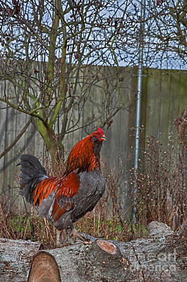 Photograph - Break Of Dawn Rooster Crowing Art Prints by Valerie Garner