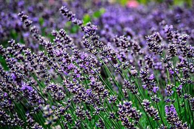Photograph - Breath Of Lavender by CarolLMiller Photography