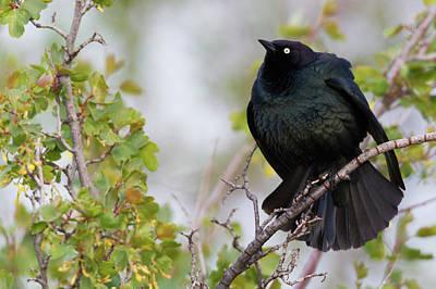 Brewers Photograph - Brewer's Blackbird Displaying by Ken Archer