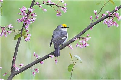 Photograph - Brewsters Warbler by Daniel Behm