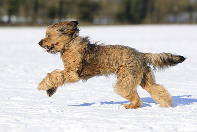 Dog In Snow Photograph - Briard Running In Snow by John Daniels