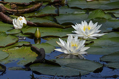 Photograph - Brick Pond Lilies by Ed Waldrop
