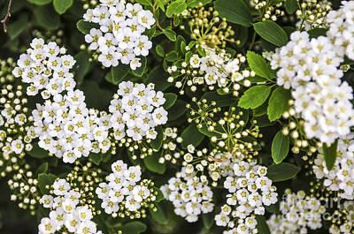 Gardening Photograph - Bridal Wreath Flowers by Elena Elisseeva