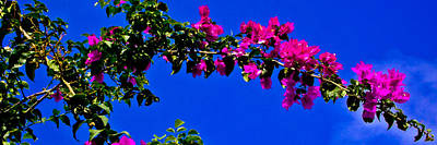 Photograph - Bright Bougainvillea Blossoms by Brian Gibson