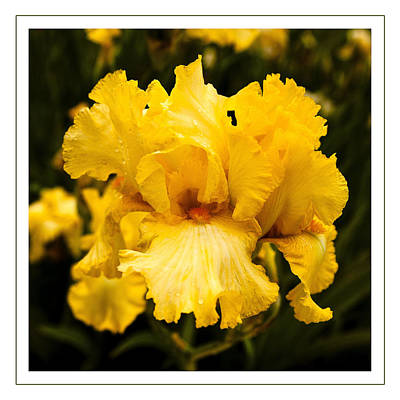 Photograph - Bright Bright Spring Yellow Iris Flower Fine Art Photography Print  by Jerry Cowart