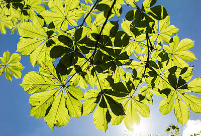 Spring Photograph - Bright Green Leaves And Blue Sky In Spring by Matthias Hauser