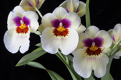 Pretty Orchid Photograph - Bright Miltonia Orchids by Garry Gay
