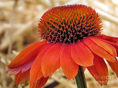 Photograph - Bright Orange Coneflower by Janice Drew