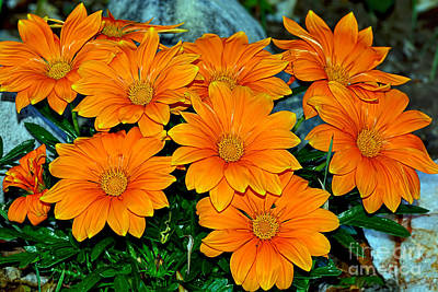 Daisy Photograph - Bright Orange Daisy Garden By Kaye Menner by Kaye Menner