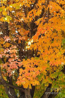 Farm House Style - Bright Orange Leaves by Arlene Carmel