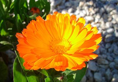 Photograph - Bright Orange Marigold In Bright Sunlight by Taiche Acrylic Art