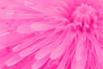 Bright Pink Dandelion Close Up Art Print by Natalie Kinnear