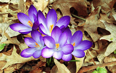 Photograph - Spring Purple Crocus  by Maggie Vlazny