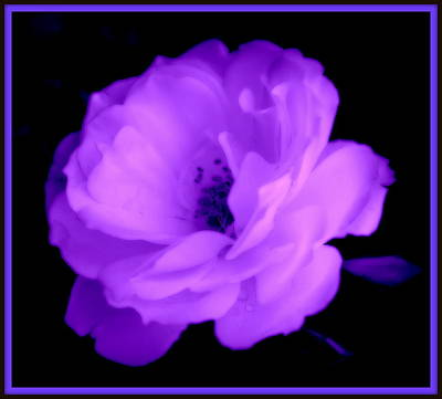 Photograph - Bright Purple Perfection by Kathy Sampson