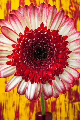 Gerbera Daisy Photograph - Bright Red And White Mum by Garry Gay