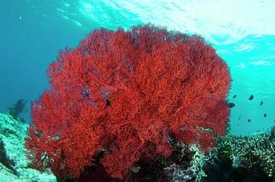 Crinoid Photograph - Bright Red Sea Fan by Scubazoo