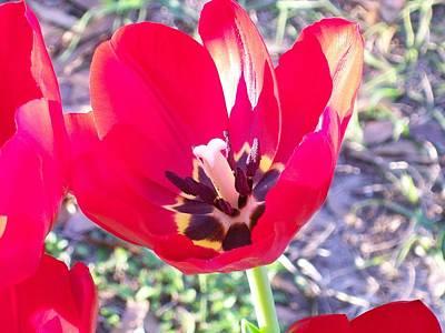 Bright Red Tulip Art Print by Belinda Lee
