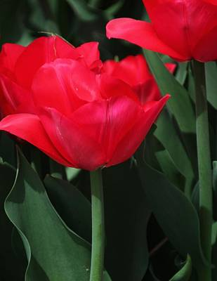 Photograph - Bright Red Tulip by Bill Woodstock