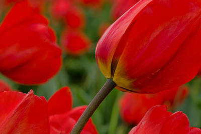 Photograph - Bright Red Tulips by Don Schwartz