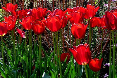 Photograph - Bright Red Tulips by Jeff Lowe