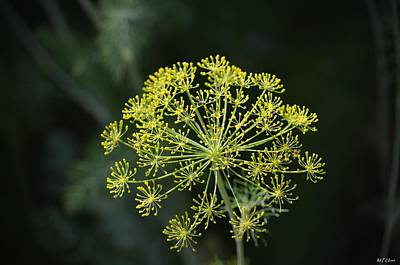 Photograph - Bright Star - Fennel by Maria Urso